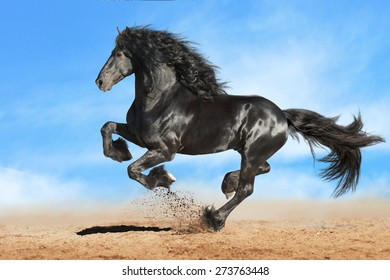 Running gallop black Friesian horse