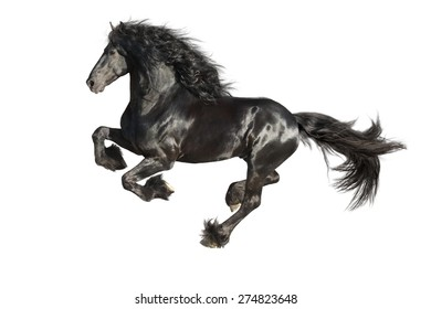 Running gallop Friesian black horse isolated on the white