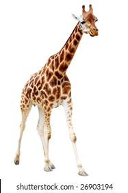 Running Giraffe isolated