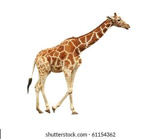 Running giraffe isolated on white background