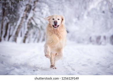 Running Golden retriever dog in beautiful winter landscape