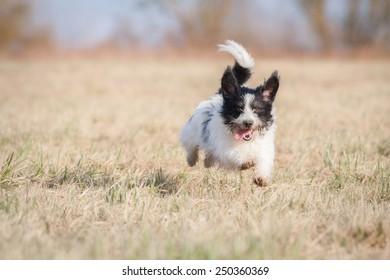 Running happy dog