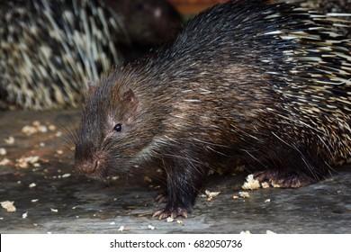 A running hedgehog