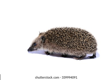 running hedgehog isolated on white