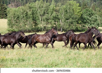 Running herd of black kladrubian horses