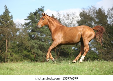 Running horse with beautiful chestnut color on pasturage in front of some trees