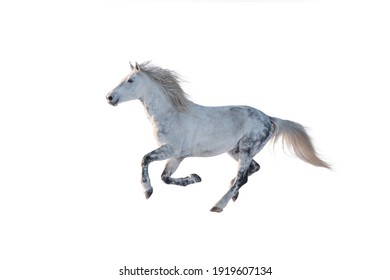 Running horse isolated on white background. Galloping grey horse.