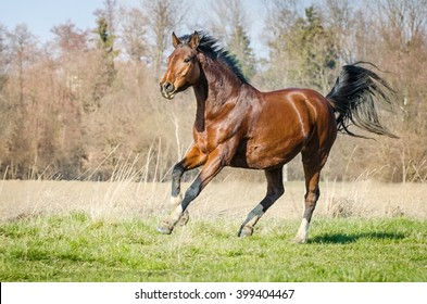 Running horse in liberty