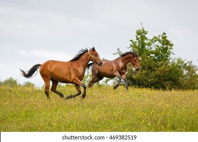 Running horses on the meadow at summer time