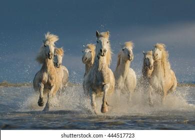 Running horses in water.  Equus caballus