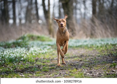 Running hungarian vizsla dog in snowdrops field in forest