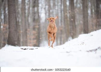 Running hungarian vizsla pointer dog on snow