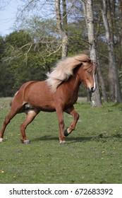 Running Icelandic horse.