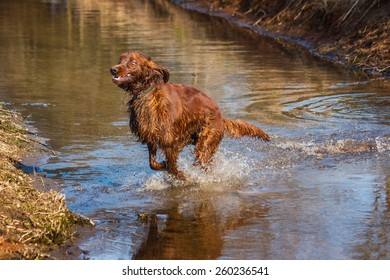 Running irish setter through water with very happy and funny