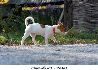 Running jack russel puppy