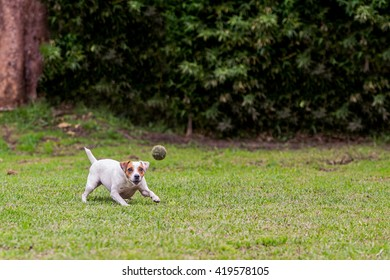 Running Jack Russell Terrier For Thrown Ball Aport
