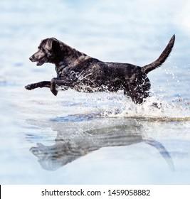 Running labrador retriever in water