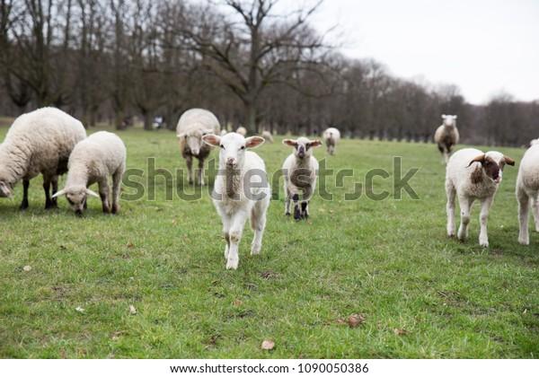 Running Lambs Flock Sheep Stock Photo (Edit Now) 1090050386