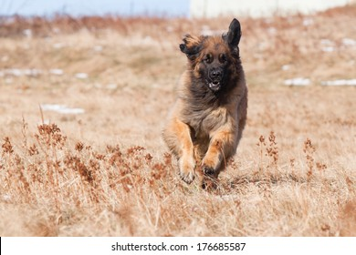 Running Leonberger in winter without snow