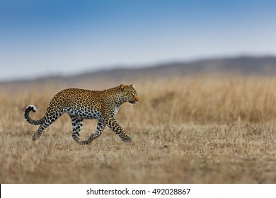 Running Leopard female in Masai Mara, Kenya