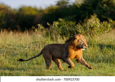 Running Lion scares an intruder from his area in Masai Mara, Kenya