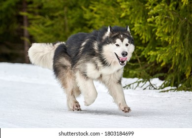 Running Malamute dog on sled dog racing. Winter dog sport sled team competition. Alaskan Malamute dog in harness pull skier or sled with musher. Active running on snowy cross country track road