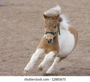 Running Miniature Horse