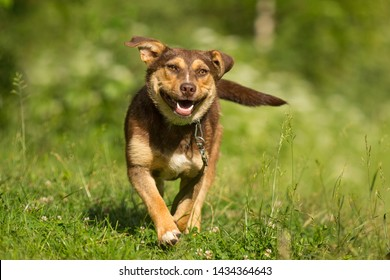 running mixed breed brown chocolate dog mutt ountdoor in summer