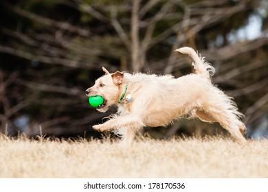 Running Mutt of border terrier with ball