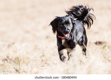 Running Mutt of English cocker Spaniel with german spitz