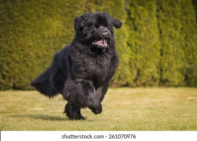 running newfoundland dog