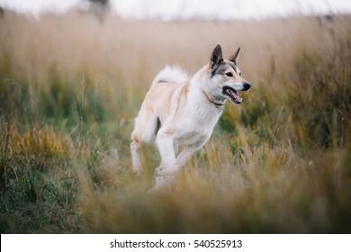 Running Nice West Siberian laika (husky)