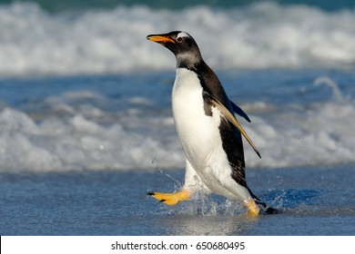 Running on the beach. Penguin in the ocean water. Gentoo penguin jumps out of the blue water after swimming through the ocean in Falkland Island. Wildlife scene from nature.