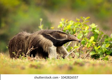 Running in pampas. Anteater, cute animal from Brazil. Giant Anteater, Myrmecophaga tridactyla, animal with long tail and log muzzle nose, Pantanal, Brazil.