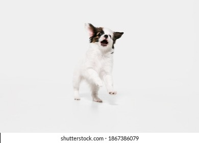 Running. Papillon Fallen little dog is posing. Cute playful braun doggy or pet playing on white studio background. Concept of motion, action, movement, pets love. Looks happy, delighted, funny. - Shutterstock ID 1867386079