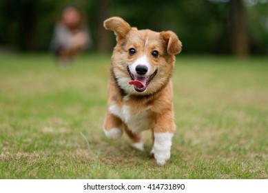 Running pembroke welsh corgi dog on green grass