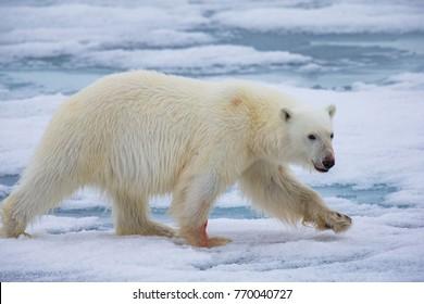 Running polar bear in Arctic