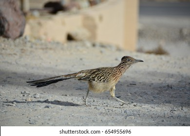 A running roadrunner in Death Valley National Park