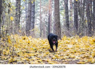 Running Rottweiler in the autumn forest