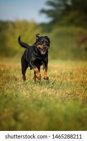 Running rottweiler dog in a summer meadow