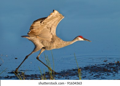 Running sandhill crane at sunrise