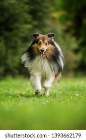 Running sheltie dog in a meadow