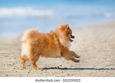 running spitz on the beach in september
