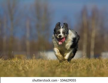 running through a field dog, Border Collie