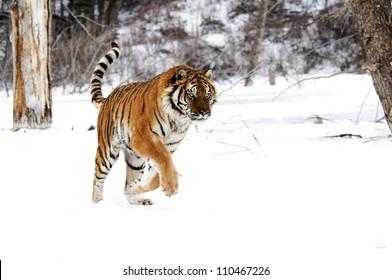 Running Tiger