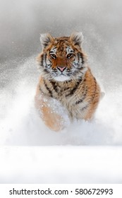 Running tiger with snowy face in wild winter nature. Action wildlife scene with dangerous animal. Cold winter in taiga, Russia. Snowflakes with beautiful Siberian tiger.