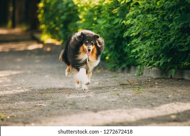 The Running Tricolor Rough Collie, Scottish Collie, Long-Haired Collie, English Collie, Lassie Adult Dog On The Road In Summer Sunny Day.