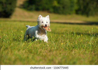 Running west highland high terrier with a frisbee