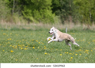 Running Whippet