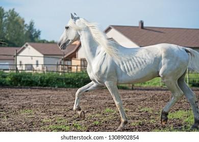 running white beautiful  Orlov trotter stallion in paddock. spring season